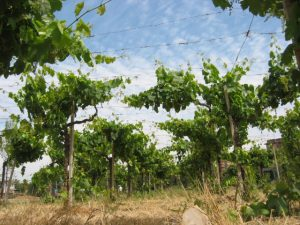 vista dal basso delle vigne e delle attiità produttive vinicole